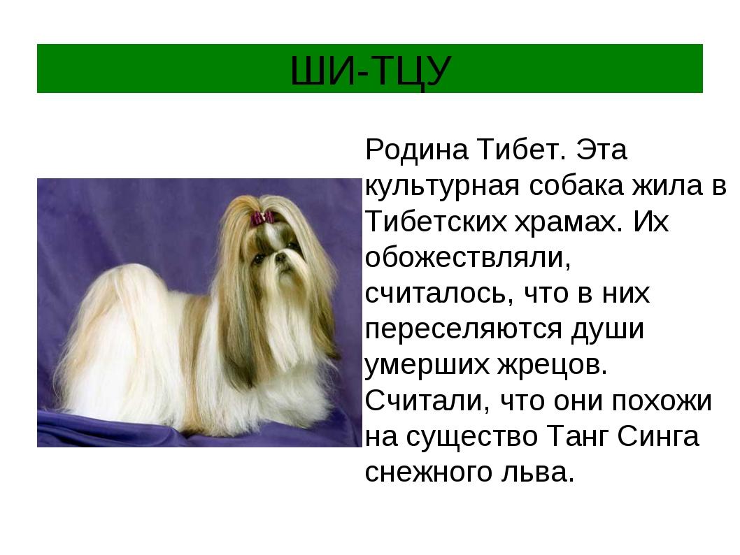 ШИ-ТЦУ Родина Тибет. Эта культурная собака жила в Тибетских храмах. Их обожес...