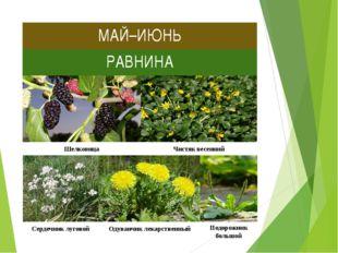 МАЙ–ИЮНЬ РАВНИНА Шелковица Чистяк весенний Сердечник луговой Одуванчик лекарс