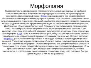 Морфология Ряд морфологических признаков позволяет считать кошачьих одними из
