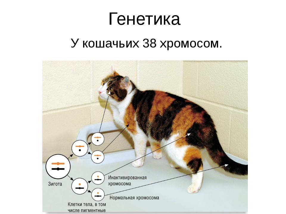 Генетика У кошачьих 38 хромосом.