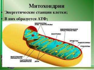 Митохондрии Энергетические станции клетки; В них образуется АТФ;