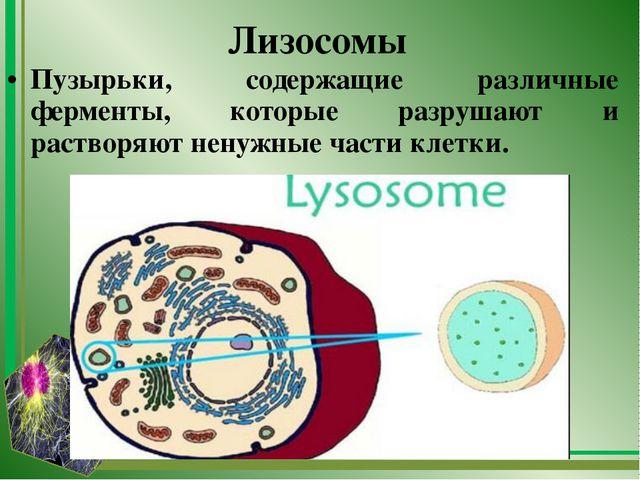 Лизосомы Пузырьки, содержащие различные ферменты, которые разрушают и раствор...