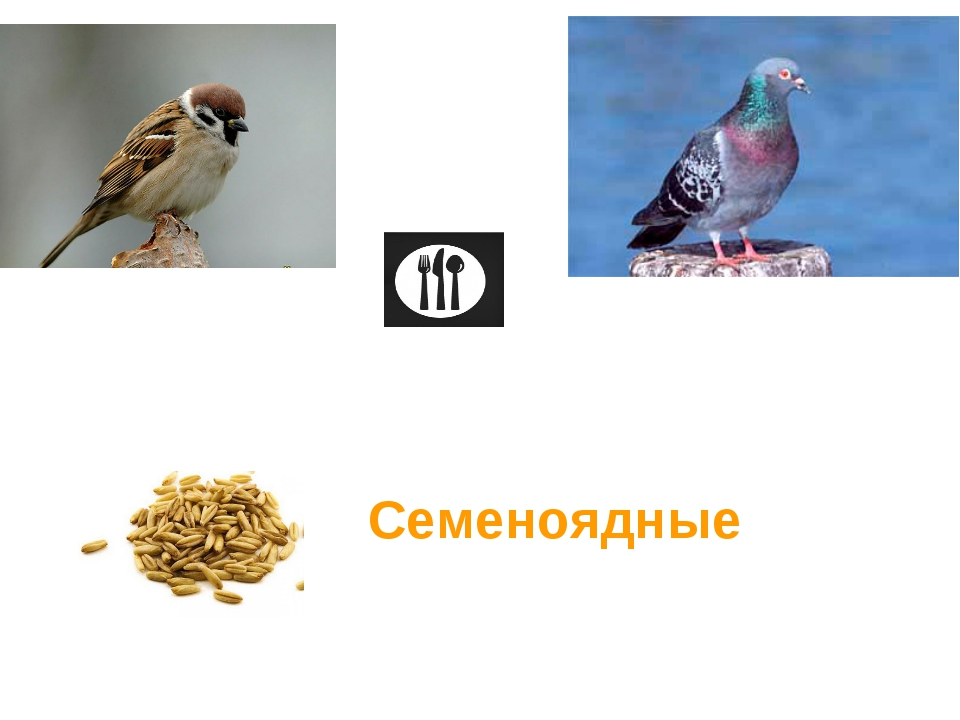 Семеноядные