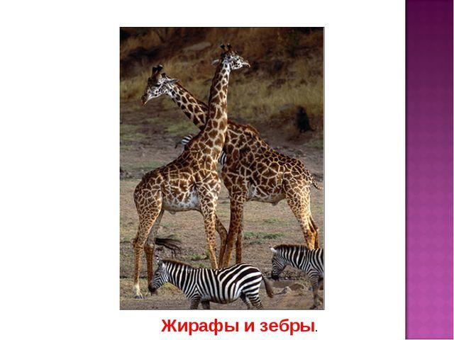 Жирафы и зебры.