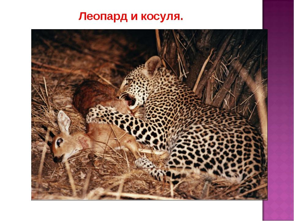 Леопард и косуля.