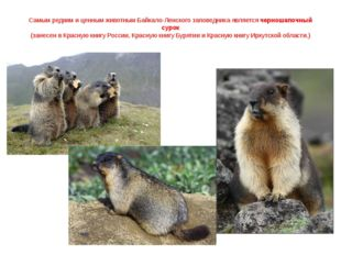 Самым редким и ценным животным Байкало-Ленского заповедника является черношап