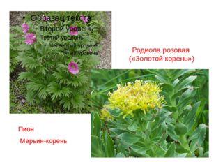 Родиола розовая («Золотой корень») Пион Марьин-корень
