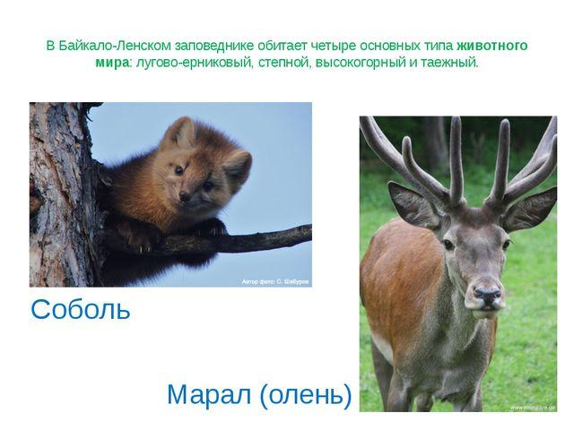 В Байкало-Ленском заповеднике обитает четыре основных типа животного мира: лу...
