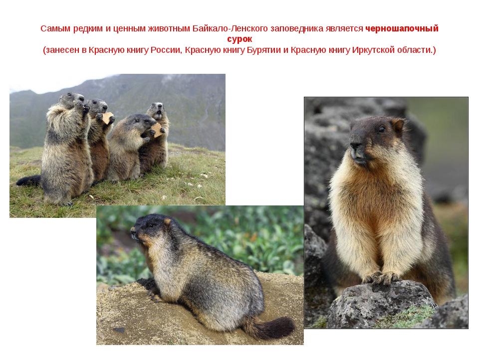 Самым редким и ценным животным Байкало-Ленского заповедника является черношап...