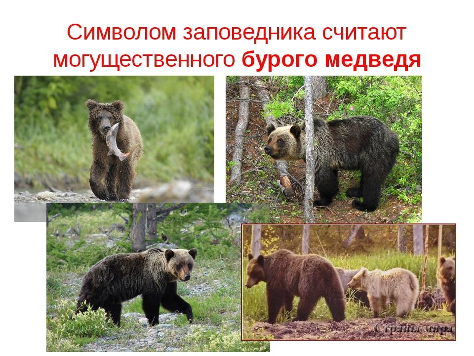 Символом заповедника считают могущественного бурого медведя