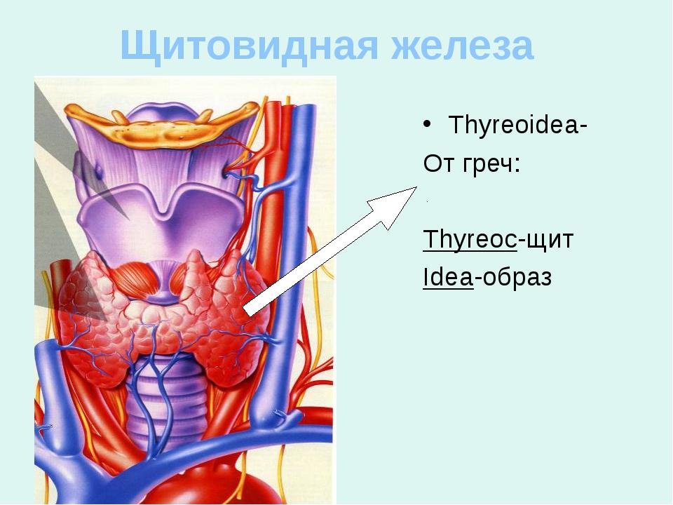 Щитовидная железа Thyreoidea- От греч: Thyreoc-щит Idea-образ